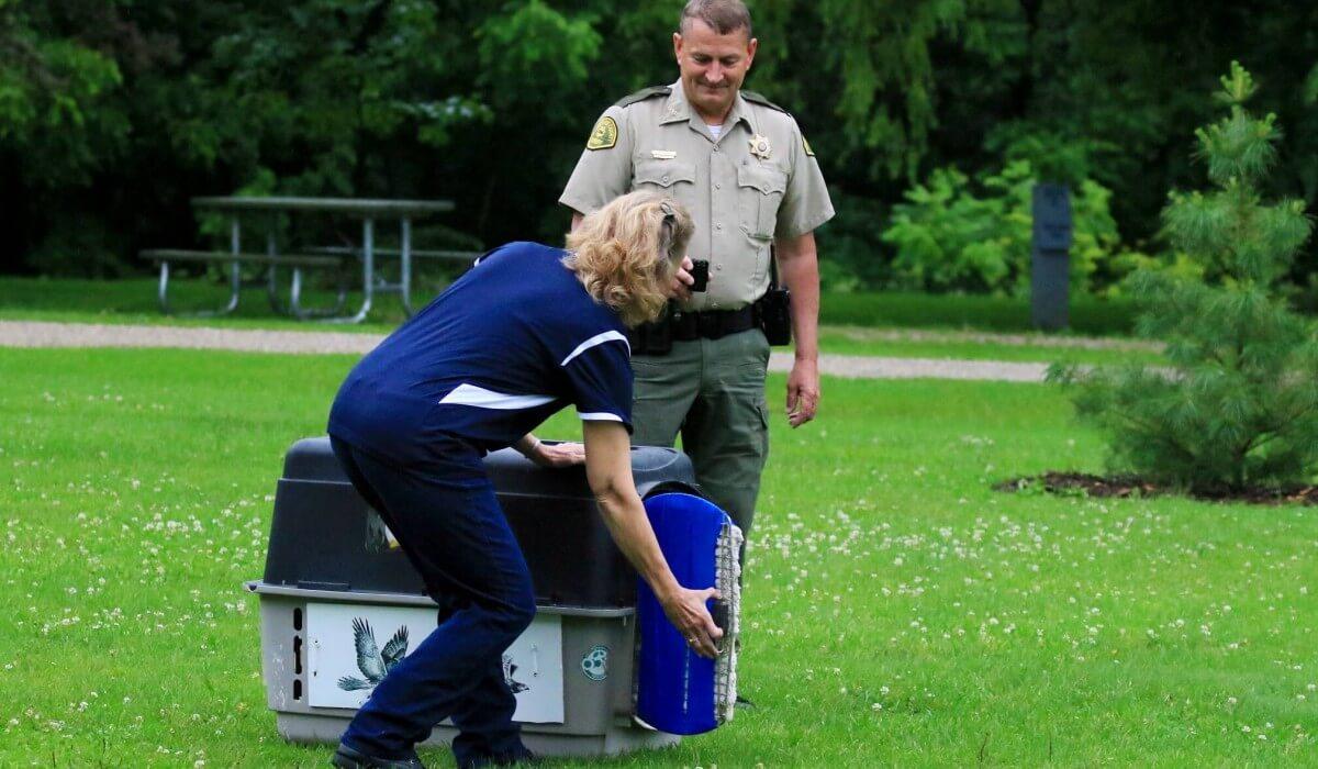 Post Photo for Female Bald Eagle Flies Free Again